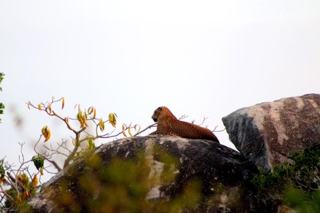 Leopard in Yala
