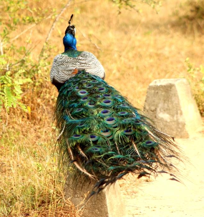 Peacock at Yala National Park