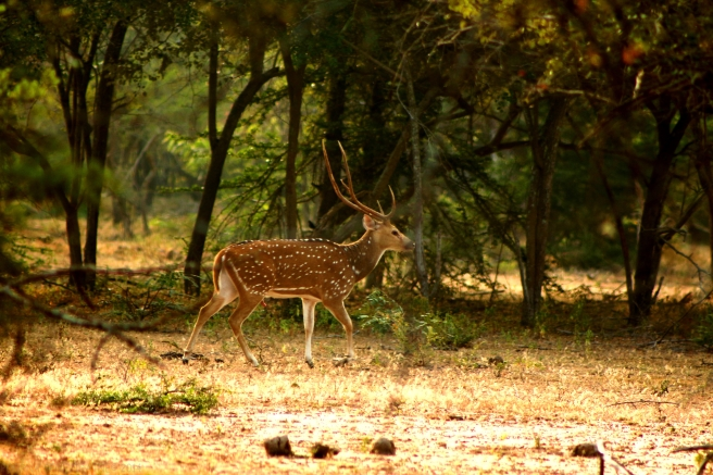 Spotted Deer at Yala