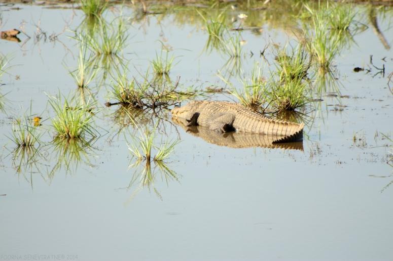 Crocs at Yala