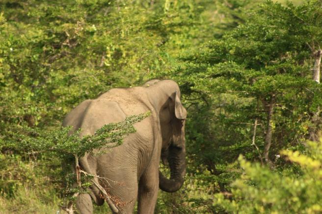Elephant at Yala
